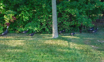 Turkeys in Our Yard