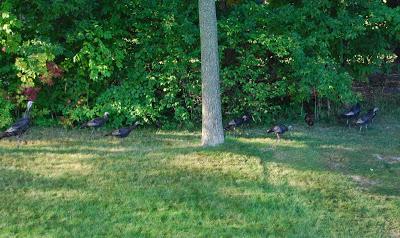 Turkeys in Our Yard